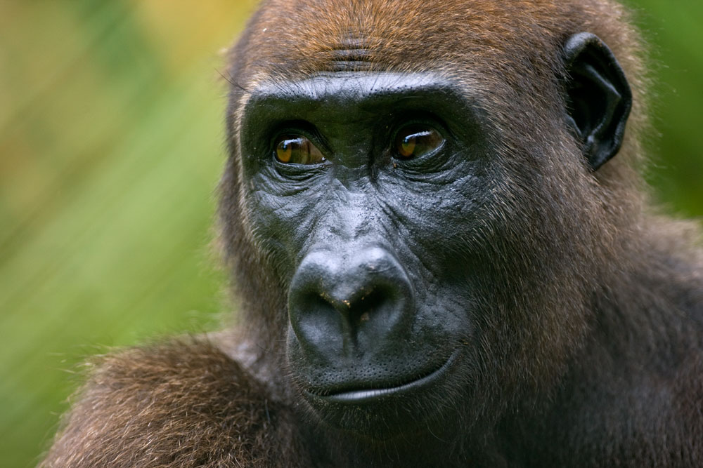 Gorilla-close-up-3-