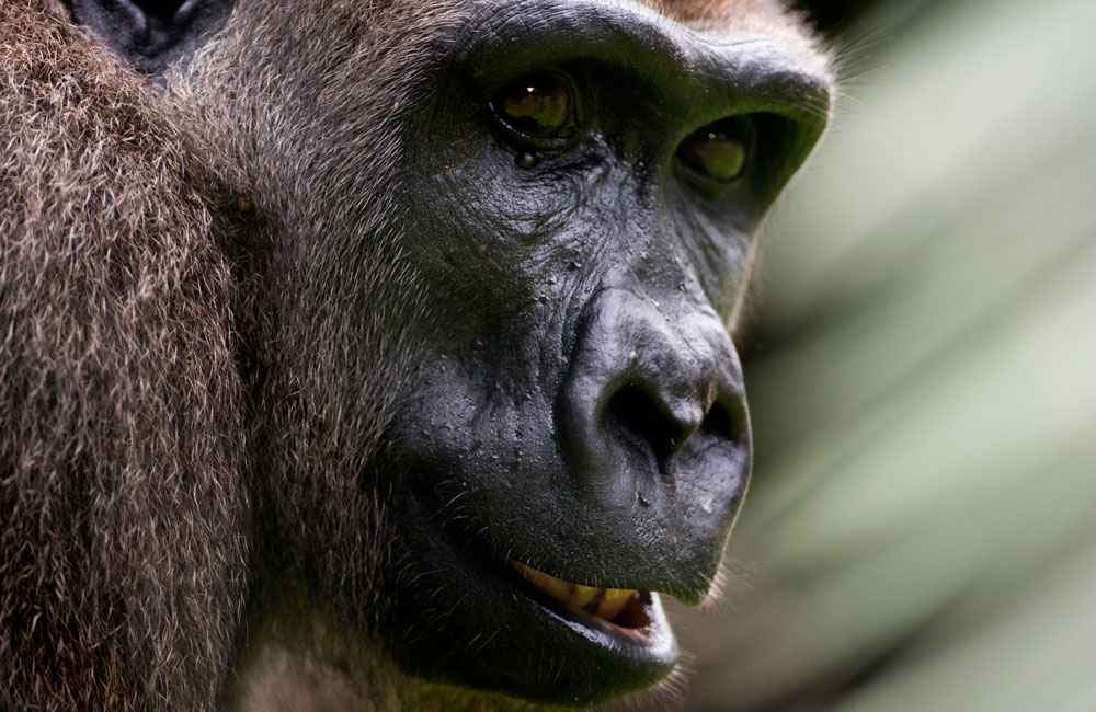 Gorilla-close-up