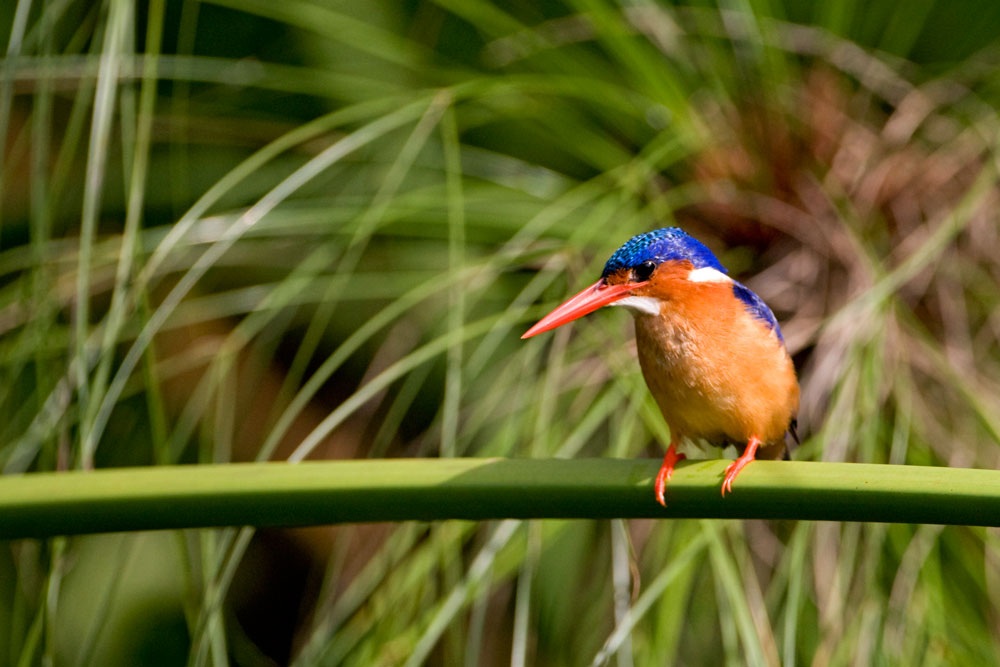 A brightly colored Malachite Kingfisher